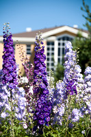 The Gordon B. Hinckley Building, located just east of the Thomas E. Ricks Gardens, has a beautiful view of campus. Many flowers, such as these delphiniums, are blooming seemingly everywhere on campus