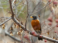 wisconsin state bird - robin perched in a tree filled with budding blossoms