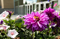 Flowers outside the BYU-Idaho Center continue to beautify campus into autumn.