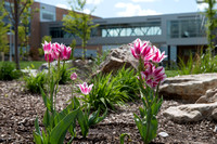 Spring blossoms with Manwaring Center -McKay Library Skywalk.