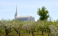 BYU-Idaho apple orchard in full spring blossom.