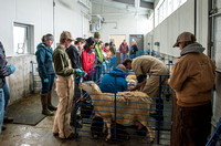 Students working with sheep in Kerry Powell's Animal Science Animal Reproduction lab at the Agricutlure Science Center in the Sheep Unit.