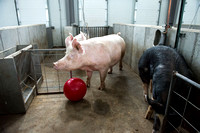 Students working with pigs in Amy Baeza's, Animal Science, Small Animal Production lab at the Agricutlure Science Center in the Pig Unit.