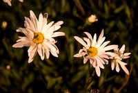 Daisies on Campus, the first night of Summer.