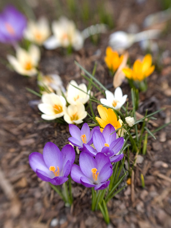 Crocus flowers bloom at the on set of spring on campus at BYU-I