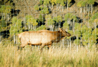 Elk are photographed at the Elk Ranch.