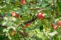 Apples hang from an apple tree in the orchard at BYU-Idaho campus