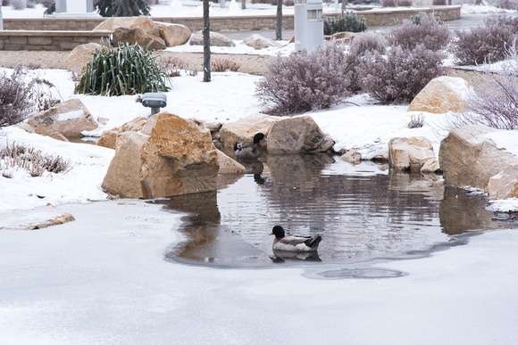 Ducks enjoy the cold frosty water in the Taylor Quad.
