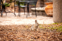 A little bunny freezes in its tracks before running away towards the bushes, in the Thomas E. Ricks Gardens.
