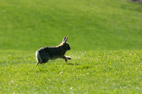 A cute, little bunny run through the Thomas E. Ricks gardens during the 2014 Spring Semester.